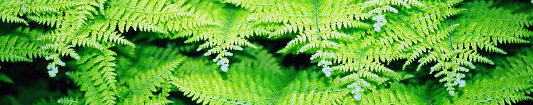 Ferns of PA header